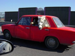 horse-in-car